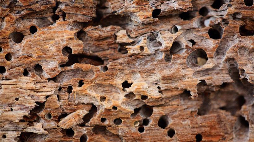 Furos causados por cupim na madeira