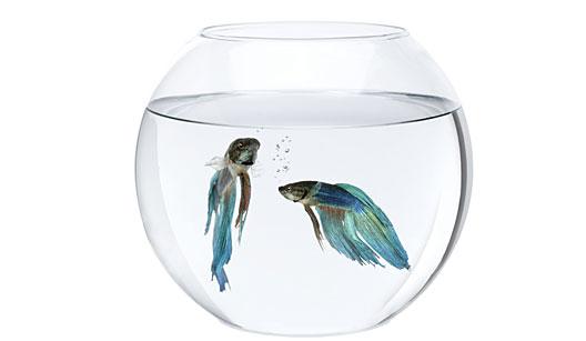 Peixe beta e bolhas de ar