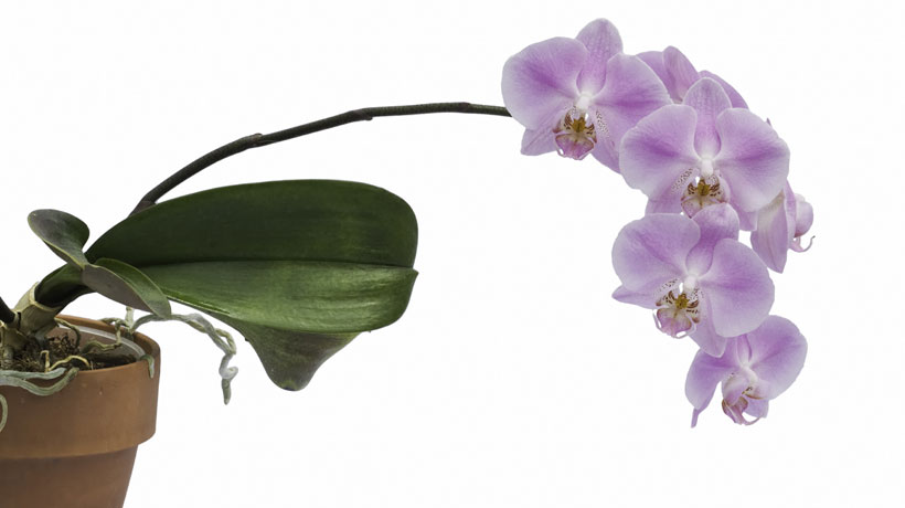 Vaso de orquídea roxa