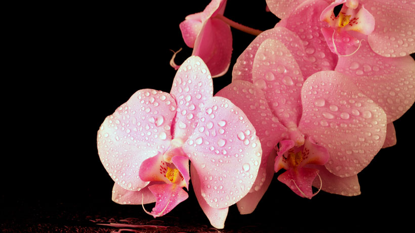 Orquídea molhada
