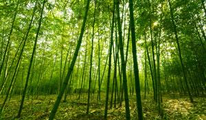 Os Bambus