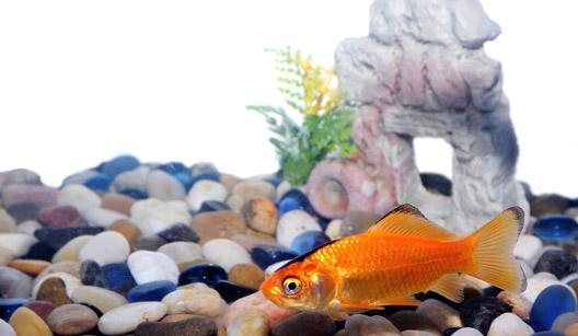 peixe em aquário com cascalho