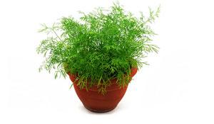 Espécies de plantas medicinais