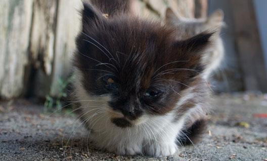 Vacine seu gato para evitar doenças