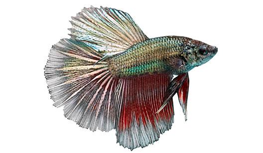 Peixe Beta