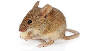 Como evitar ratos em casa