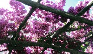Trepadeiras tropicais: 1 - Primavera