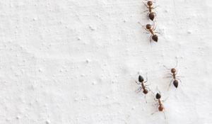 Como eliminar formigas domésticas