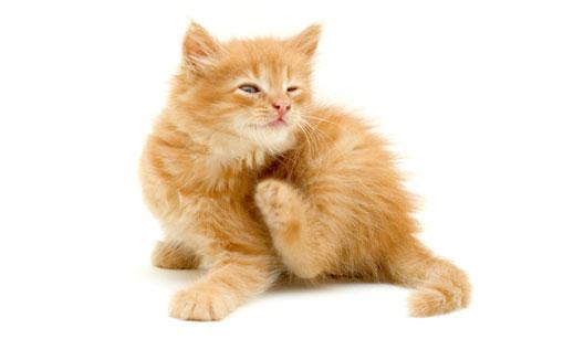 gato com carrapato e pulga se coçando